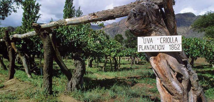 vuelve uva criolla ahora vinos alta gama