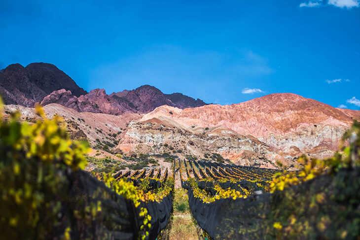 Vinedos Uspallata Cosecha (8)