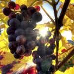 ¿Se pueden inventar uvas para ajustarse al cambio climático?