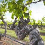 Vinos nuevos de viñas viejas, una tendencia que se afirma en Argentina