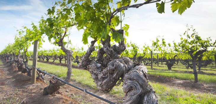 viñas viejas