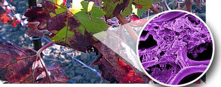 bacteria vino